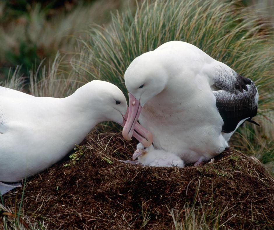 Albatross chick in nest
