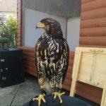 Harris Hawk on Perch