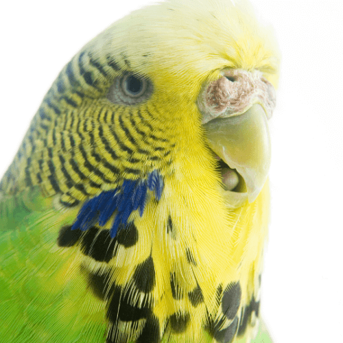 overheated budgie breathing through mouth