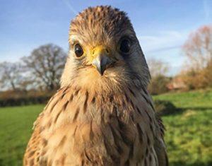 Falconry hawk