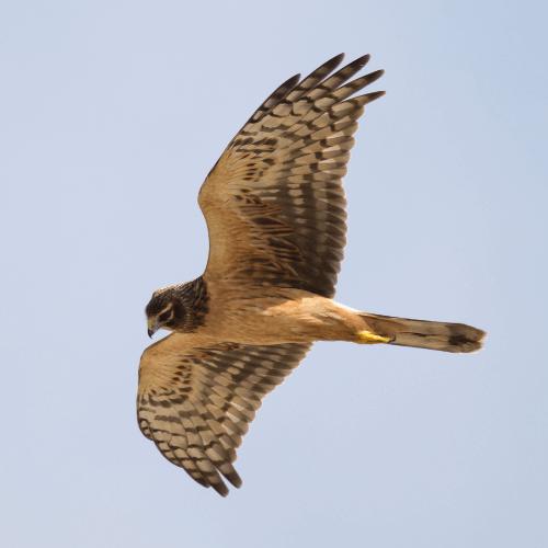 hen harrier flying through the sky