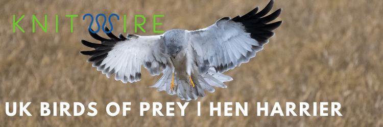 Hen harrier landing in field